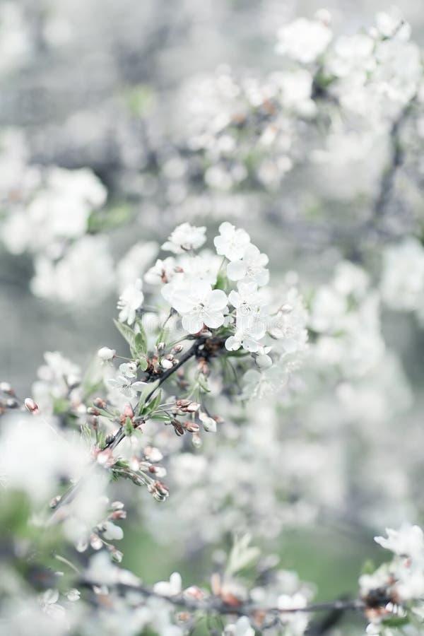 樱桃开花结构树白色 免版税库存照片