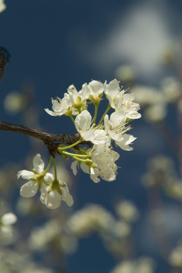 樱桃开花结构树 免版税库存照片