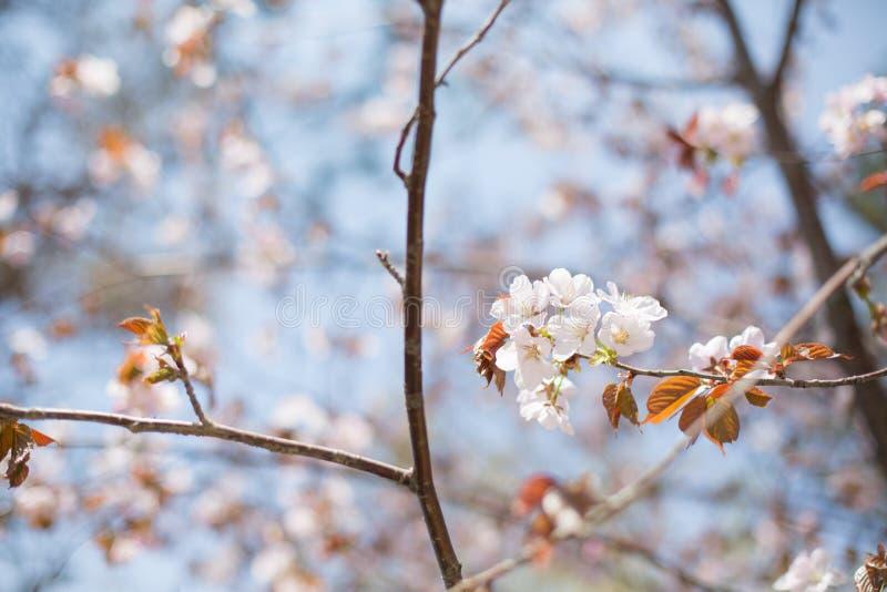 樱桃或日本佐仓开花在春天,佐仓花在天空蔚蓝背景 免版税库存照片