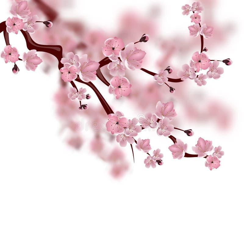 樱桃日本佐仓结构树 桃红色佐仓开花分支  背景查出的白色 皇族释放例证