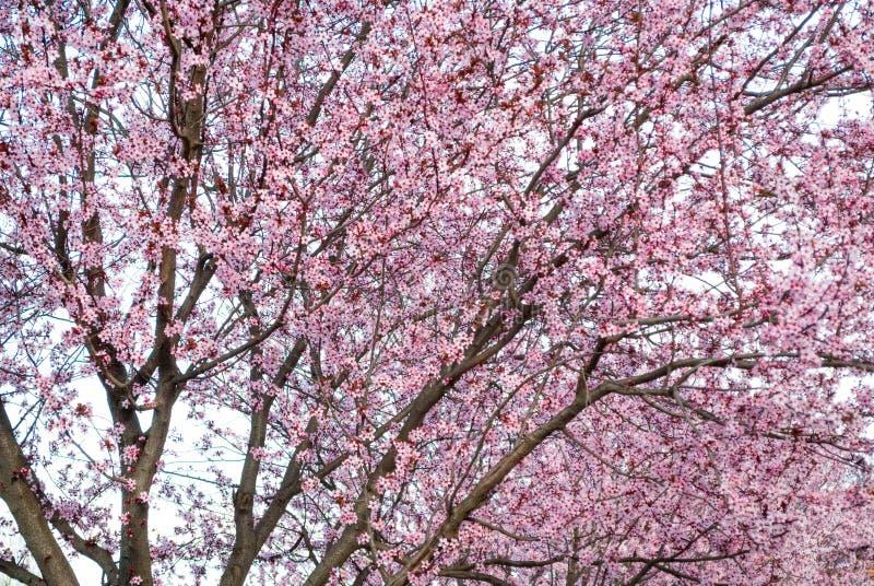 樱桃树与可爱的桃红色颜色的开花背景在公园 免版税库存图片