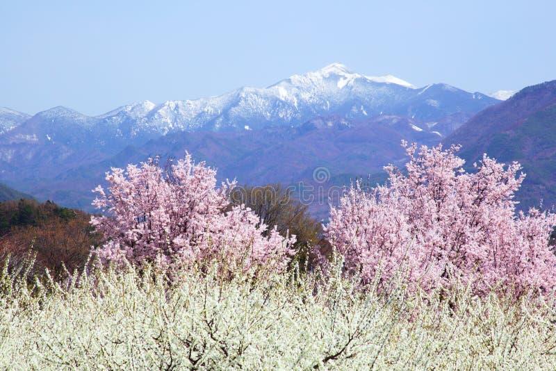Download 樱桃树和山 库存图片. 图片 包括有 绽放, 女衬衫, 季节, beautifuler, 场面, 自然, 聚会所 - 30330957