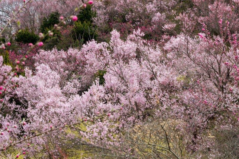 樱桃树和生动的桃子在小山, Hanamiyama公园,福岛, Tohoku,日本开花 库存图片