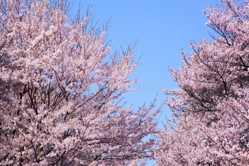 Download 樱桃树和蓝天 库存图片. 图片 包括有 照亮, 复制, 工厂, 颜色, 日本, 聚会所, 任意, 横向, 开花 - 30330953