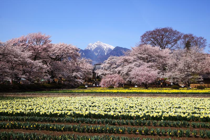 Download 樱桃树和水仙领域 库存照片. 图片 包括有 修改, 粉红色, 风景, beautifuler, 新鲜, 水仙 - 30330942