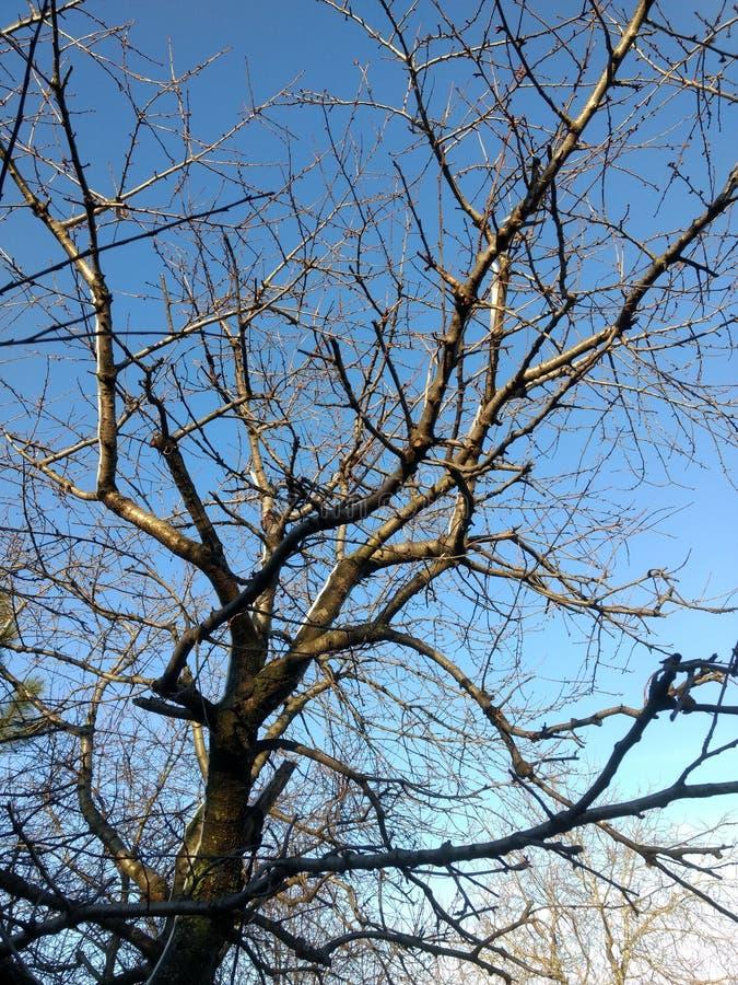 樱桃树在冬天 免版税库存图片