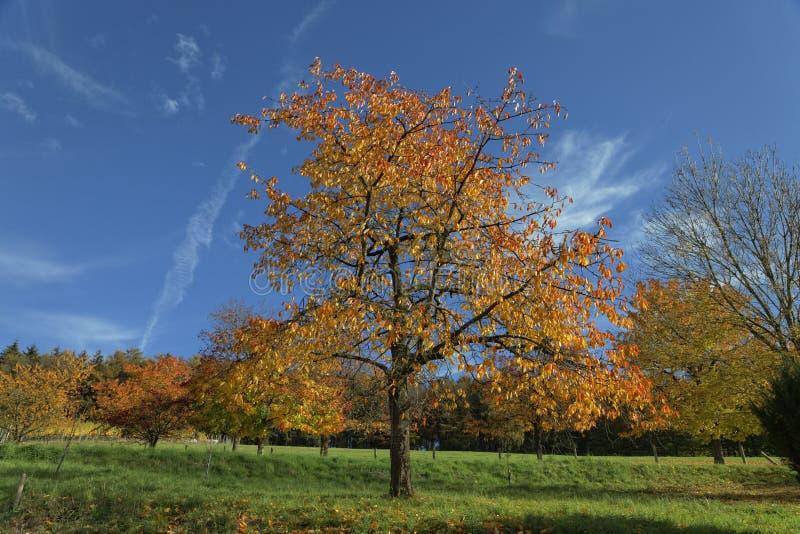 樱桃树在秋天,哈根,德国 库存图片