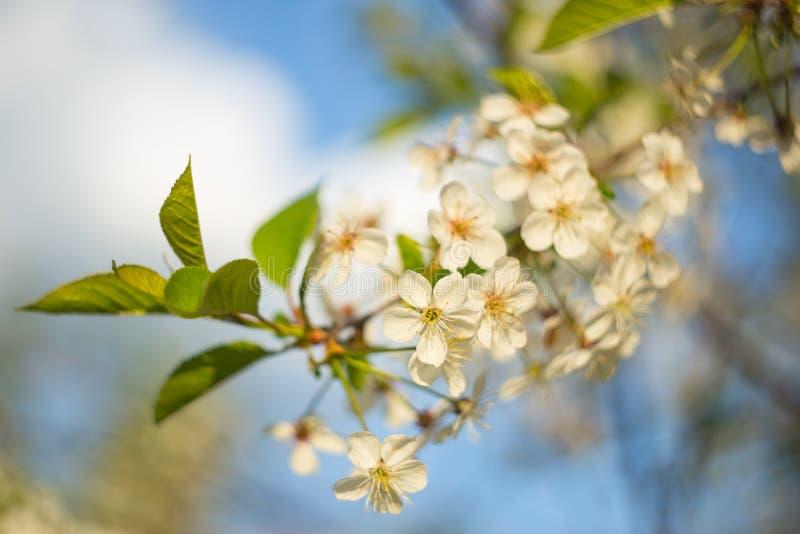 樱桃树开花在阳光特写镜头的开花 宏观照片 图库摄影
