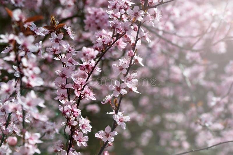 樱桃树开花,桃红色花,春天背景 免版税图库摄影