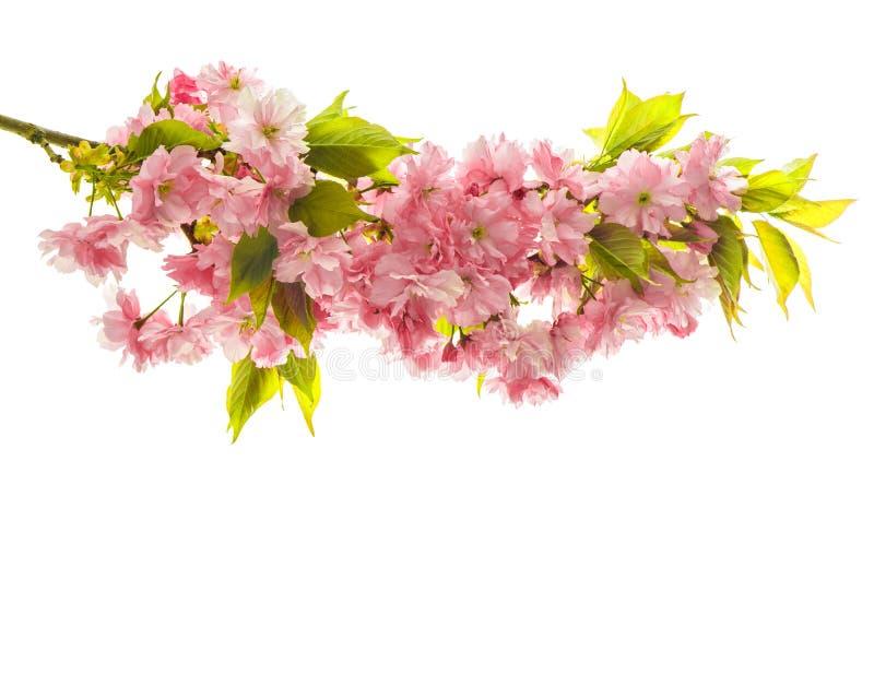 樱桃树开花  新鲜的春天佐仓花 库存照片