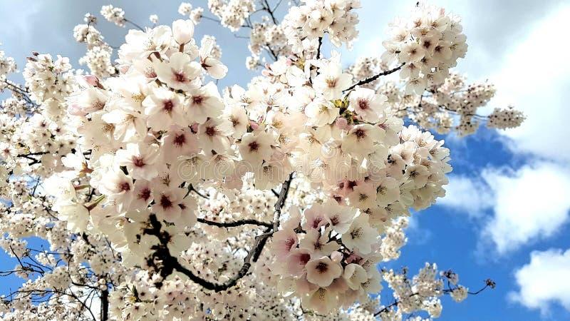樱桃树开花 图库摄影