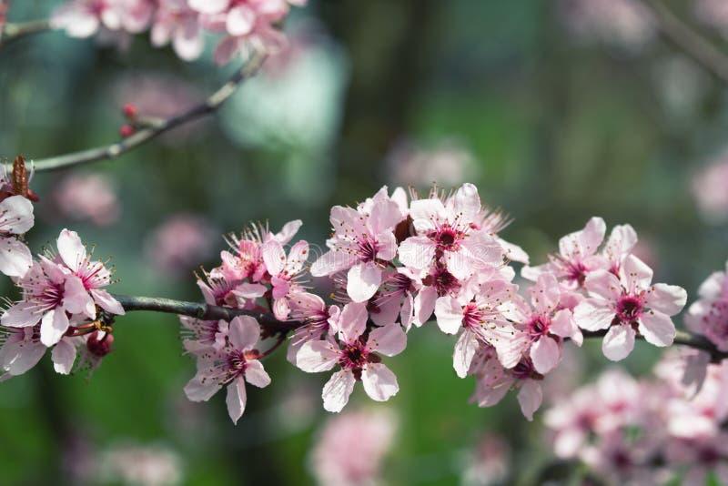 樱桃树桃红色开花,春天背景 免版税库存照片