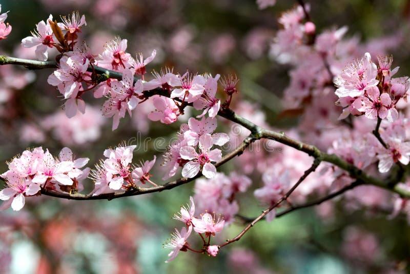 樱桃树桃红色开花,春天背景 免版税图库摄影