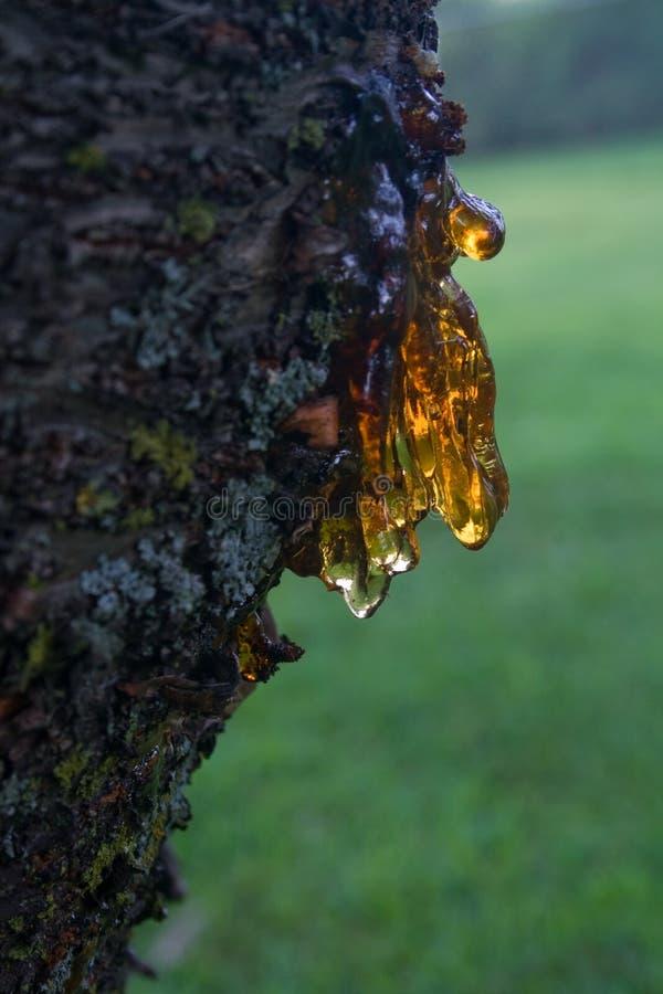 樱桃树汁结构树 免版税库存图片