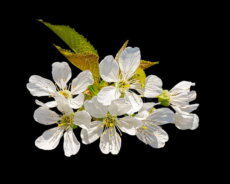 樱桃树白花,隔绝在黑背景 库存照片