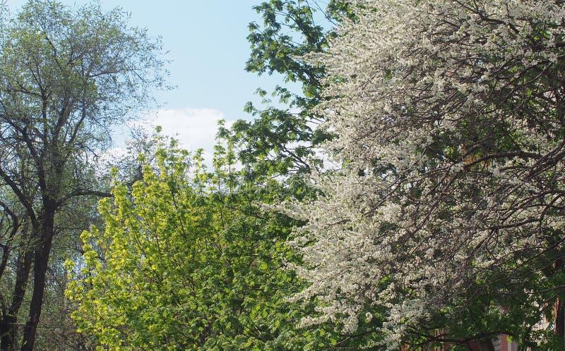 樱桃树绽放 树用白花密集地盖 库存图片