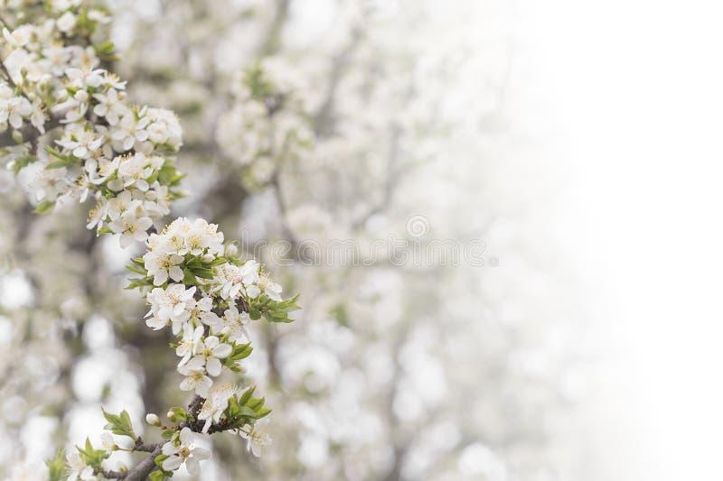 樱桃树花在春天 库存照片