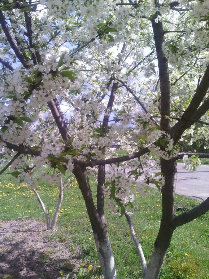樱桃树蒲公英嫩叶美好草的春天 免版税库存图片