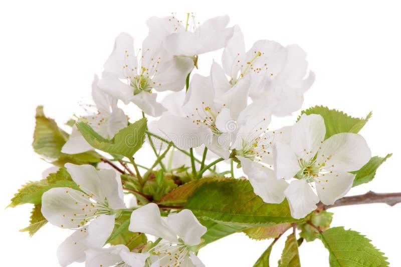 樱桃树被隔绝的绽放  免版税库存照片