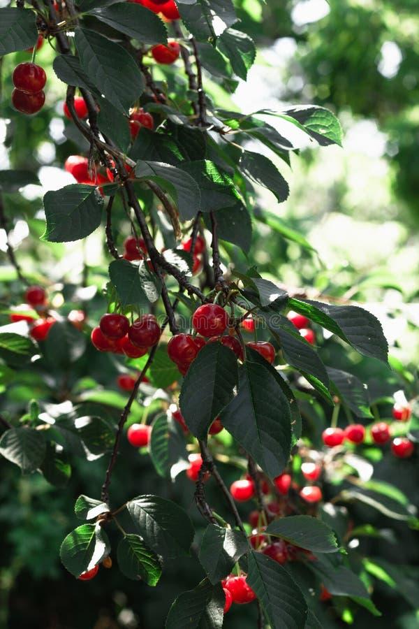 樱桃樱桃树在晴朗的庭院里 免版税图库摄影