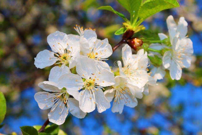 樱桃的花 免版税图库摄影