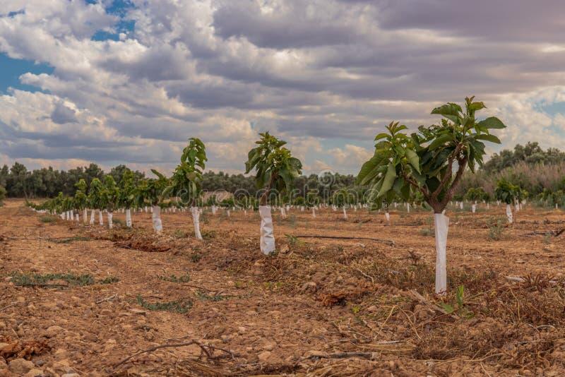樱桃种植园小树广泛的农业 免版税库存照片