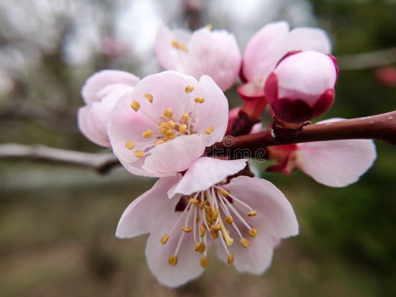 樱桃花关闭 大桃红色花宏观自然摄影 库存图片