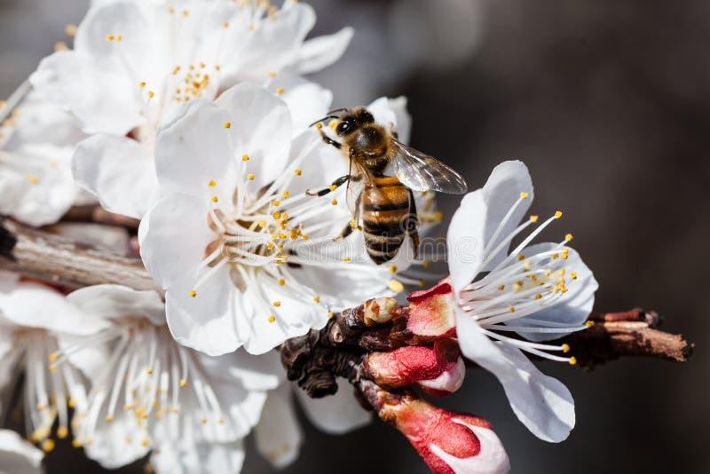樱桃花分支  库存图片