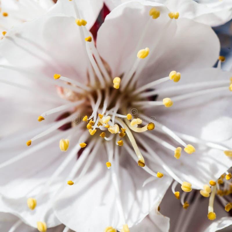 樱桃花分支  库存照片