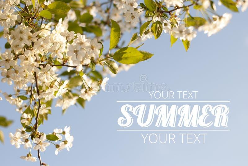 樱桃花和蓝天 库存照片