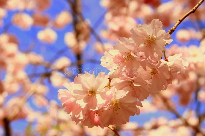 樱桃花在一个晴天 免版税图库摄影