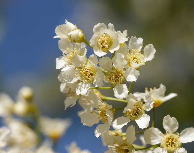 樱桃花白色分支特写镜头-图象 库存图片