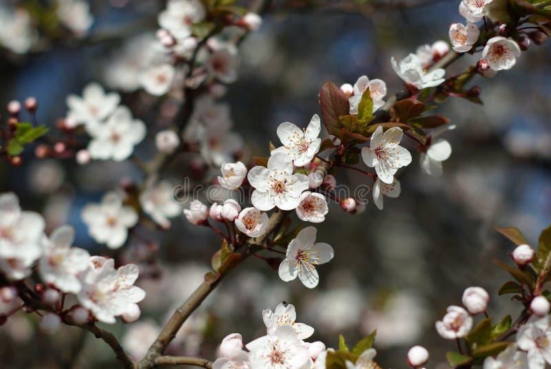 樱桃花 免版税库存图片