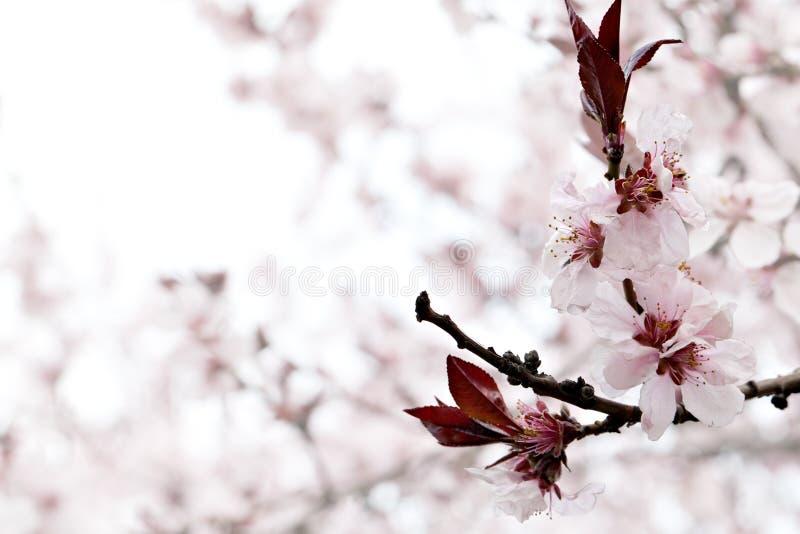 樱桃花 免版税库存照片
