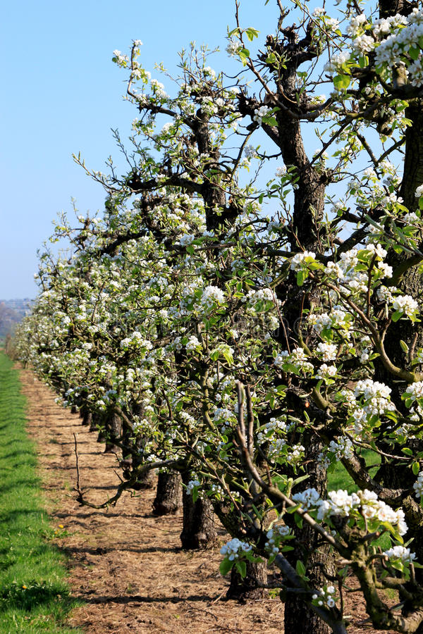 樱桃荷兰语开花的果树园结构树 免版税库存照片