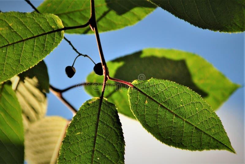樱桃莓果在一个晴天 免版税库存图片