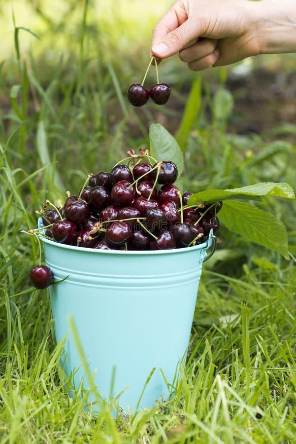 樱桃采摘桶和手 库存图片