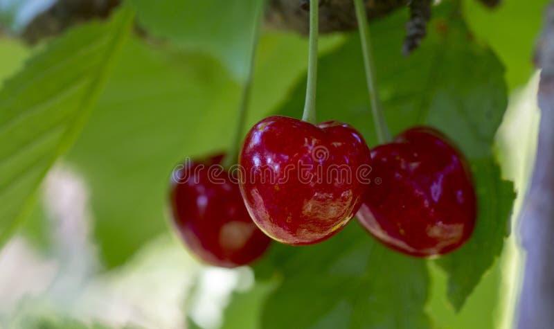 樱桃,在分支的果子 免版税图库摄影
