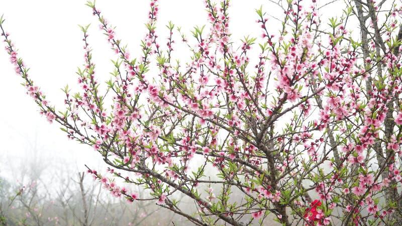 樱花佐仓在露水开花在Sapa越南 免版税库存照片