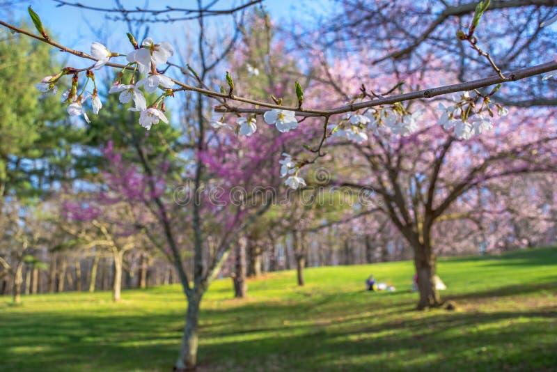 樱花分支在公园 免版税库存图片