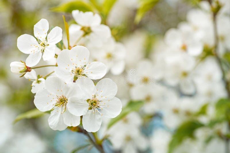 樱花分支有美丽的花的 白色自然b 库存照片