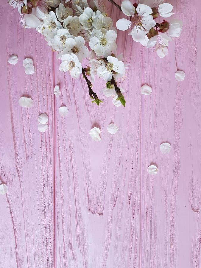 樱花分支装饰在桃红色木背景的葡萄酒春天 免版税库存照片