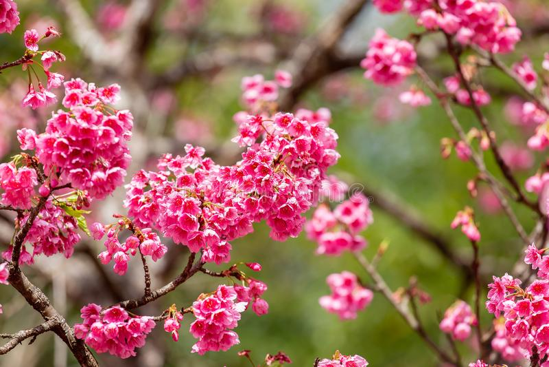樱花和佐仓墙纸 库存图片
