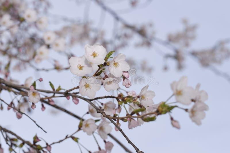 樱花和它的分支特写镜头照片  库存照片
