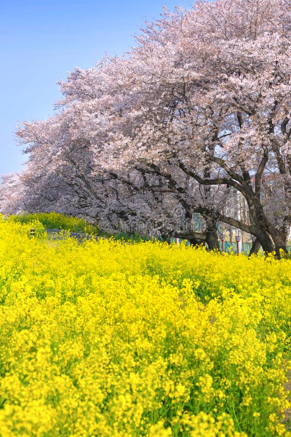 樱花和油菜籽绽放在熊谷市Arakawa绿地公园 库存图片