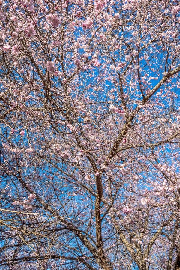 樱花和蓝天 库存图片