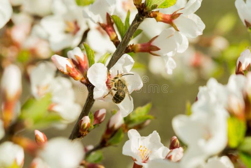 樱花在一个分支美妙地开花有被弄脏的背景 在哪些坐蜂,收集花蜜 图库摄影
