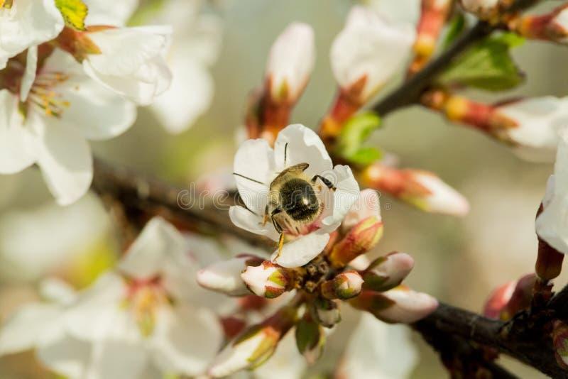 樱花在一个分支美妙地开花有被弄脏的背景 在哪些坐蜂,收集花蜜 库存图片