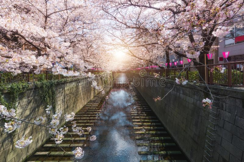 樱花在东京,日本排行了Meguro运河 春天在4月在东京,日本 库存照片
