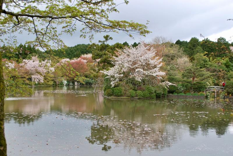 樱花在京都,日本 库存图片